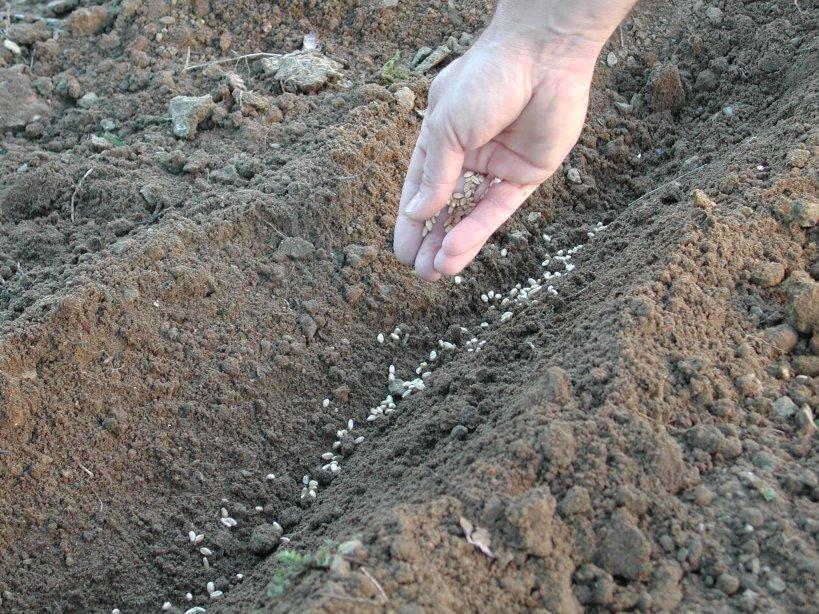 La semina nell 39 orto come fare orto for Piantare piselli