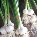 aglio come fare orto