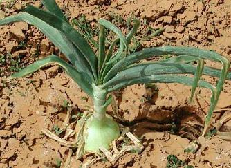 Cipolla come fare orto for Semina cipolle