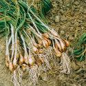 scalogno come fare orto