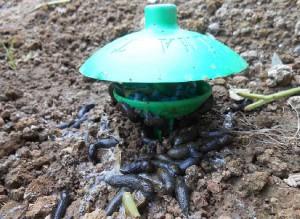 lima trap come fare orto