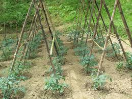 legatura pomodori come fare orto