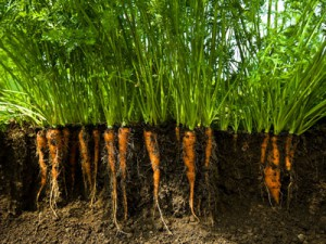 carota come fare orto