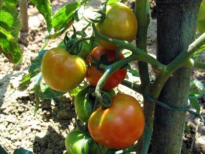 Pomodoro come fare orto for Semina a spaglio